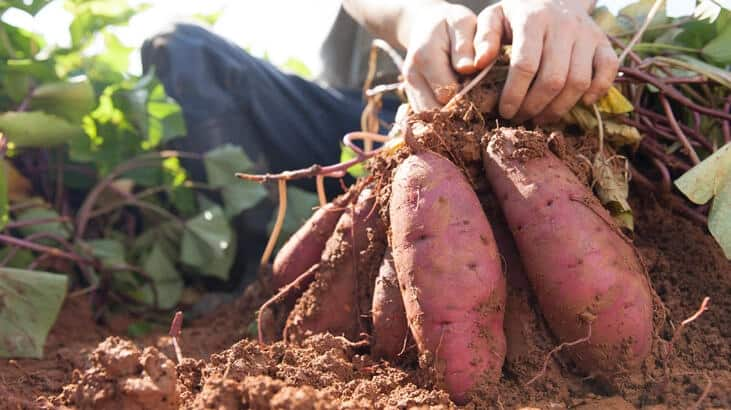 Are Sweet Potatoes Good For You
